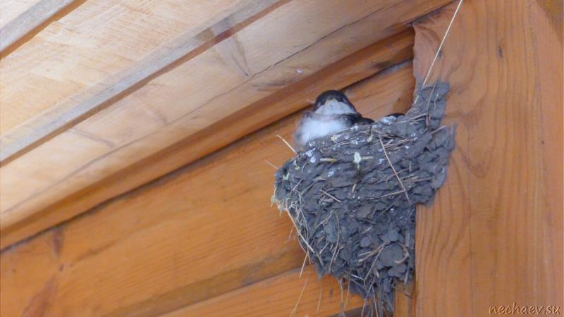 Гнездо ласточки