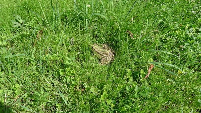 Лягушка на траве