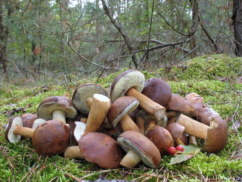 Кучка польских грибов